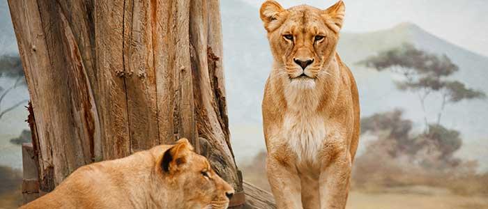 leonas con melena