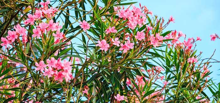 nerium oleander, adelfa, plantas más venenosas