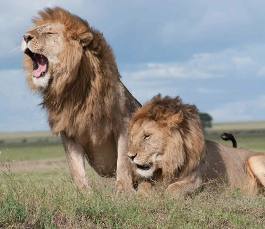 por que los leones tienen melena