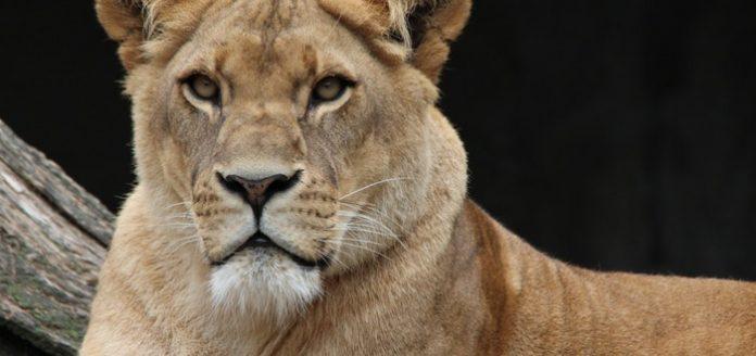 la melena del leon que significa