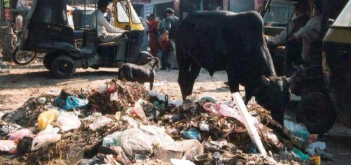 El gravísimo problema de las Vacas en las calles de la India