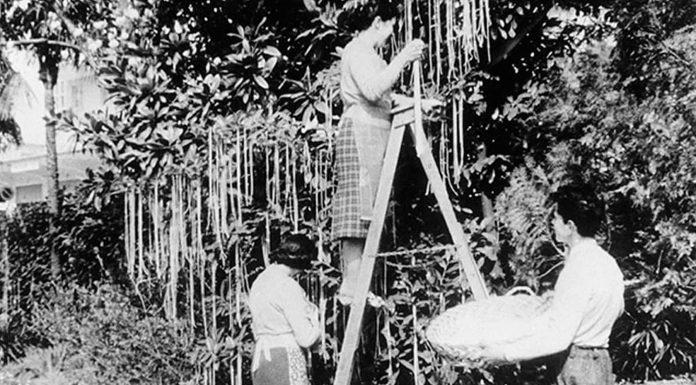 Los espaguetis crecían en árboles, según la BBC (1957)