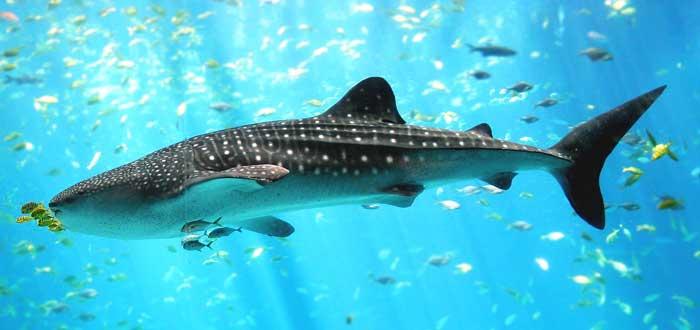 20 Curiosidades de los peces que te encantará saber, tiburón más grande del mundo