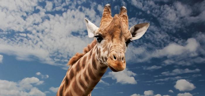 curiosidades del mundo, jirafa