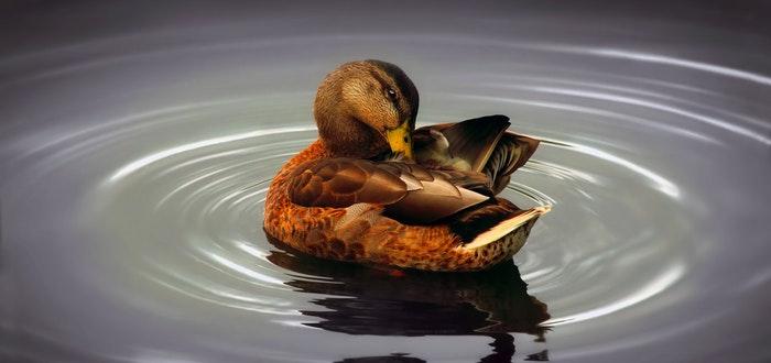 curiosidades graciosas, graznido del pato no tiene eco