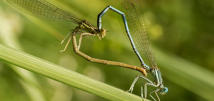 curiosidades del mundo, libélulas corazón