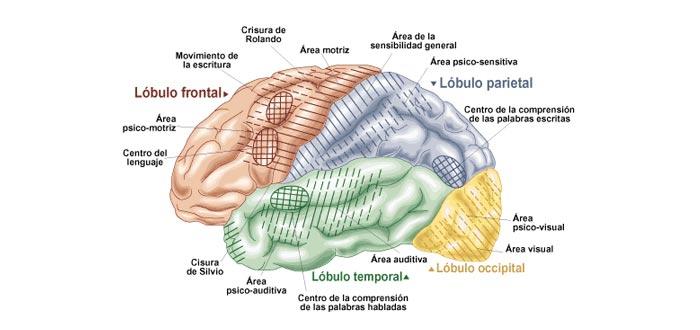 partes del cerebro, áreas del cerebro y funciones