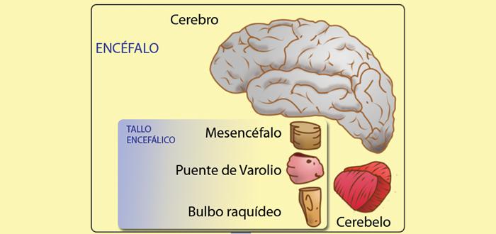 Partes del cerebro humano, Las funciones del cerebro
