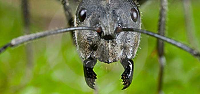 Hormigas bengalíes para suturas y otras curiosidades médicas