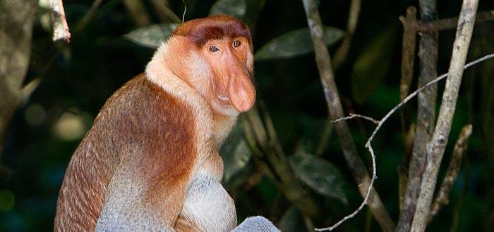 animales más feos, mono narigudo