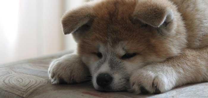 25 Curiosidades de los perros que te asombrarán, perro akita