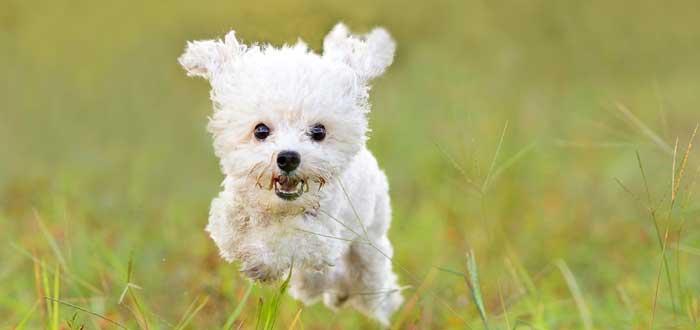 25 Curiosidades de los perros que te asombrarán, french podle mini toy