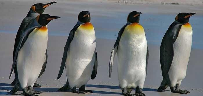 Curiosidades de los pingüinos. Información de los pingüinos.