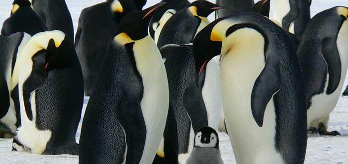 El triste fin del Pingüino Emperador. ¿Qué le espera?