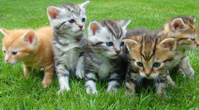sonidos de gatos