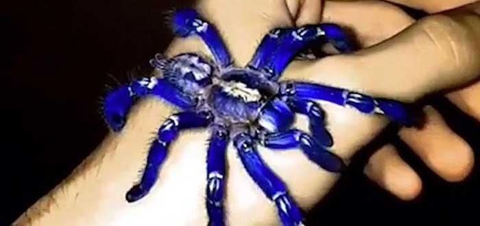 Poecilotheria metallica, la alucinante y bella tarántula azul