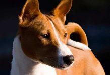 Perros Basenji. La raza de perro que no ladra