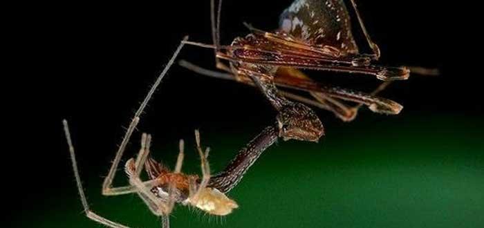 Arañas pelícano: las caníbales arañas que empalan a sus víctimas