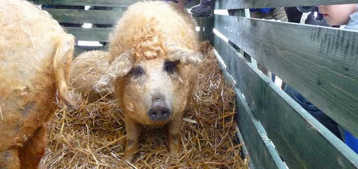 ¿Un cerdito con el pelo rizado? El mangalica pig. ¡Monísimo!