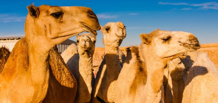 curiosidades de asia, arabia saudí, mercado de camellos