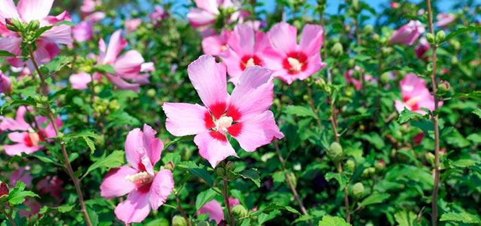 Curiosidades de Corea del Sur, flor nacional