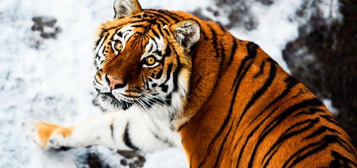 Curiosidades de Corea del Sur, tigre de Amur
