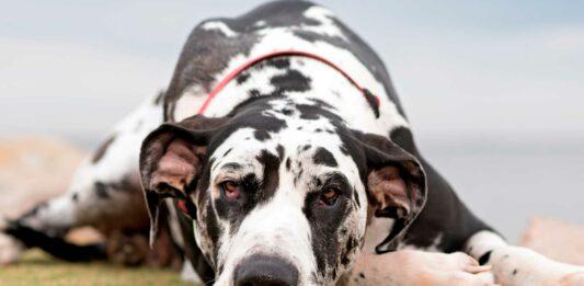 razas de perros que no ladran