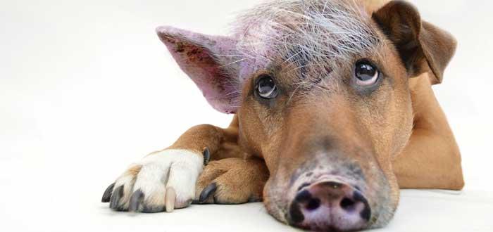 ¿Por qué decimos Sudar como un Cerdo si los cerdos no sudan?