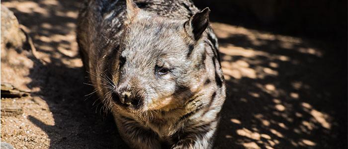 wombat curiosidades