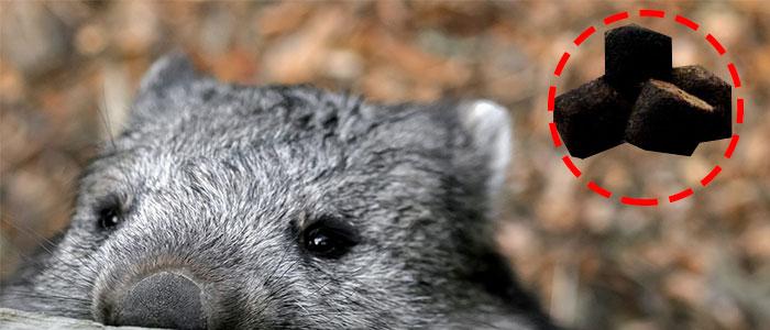 wombat heces