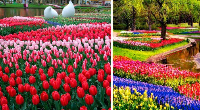 Tan hermoso y fugaz. El jardín holandés Keukenhof solo dura 8 semanas