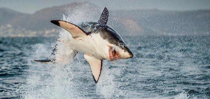 cadena alimenticia, cadena trófica, tiburón, superdepredador