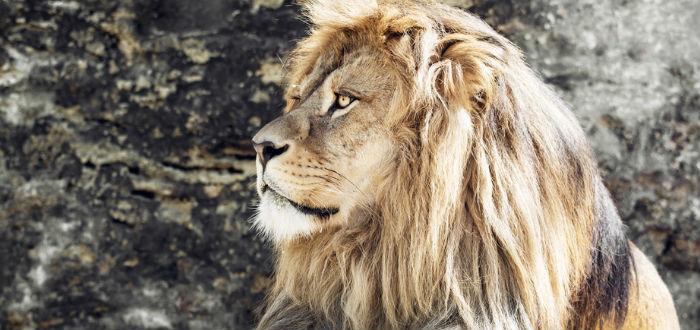 curiosidades de Marruecos, león del Atlas
