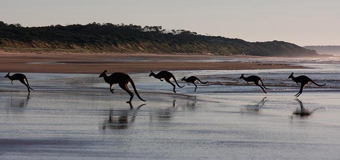 curiosidades de Oceanía, canguros saltando