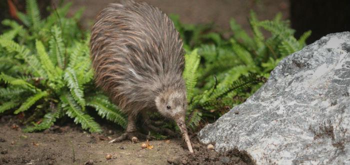 curiosidades de Oceanía. kiwi nueva zelanda