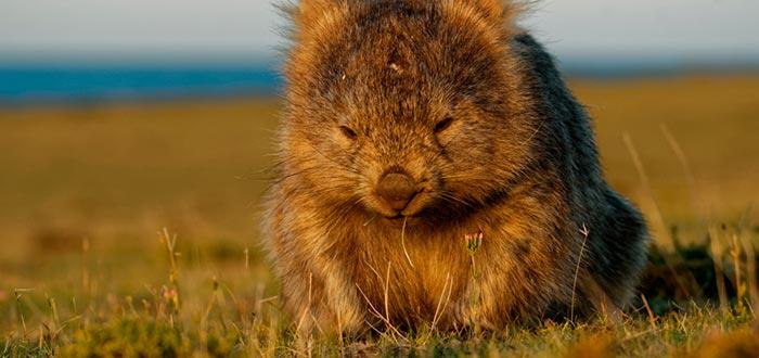 curiosidades de Oceanía, wombat