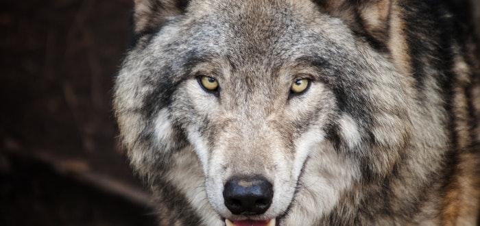 Curiosidades de Turquía, lobo gris