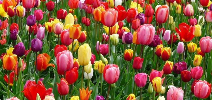 Curiosidades de Turquía, tulipanes
