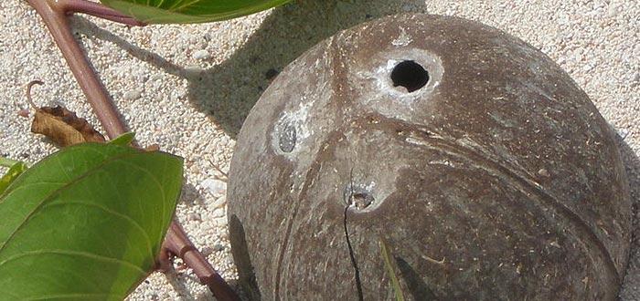 curiosidades de Samoa, leyenda coco