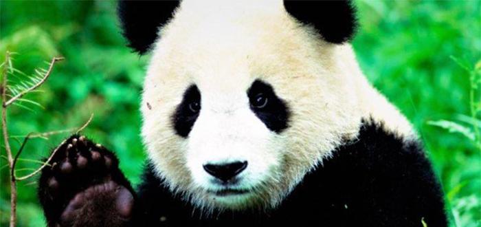 Animales más bonitos del mundo, oso panda