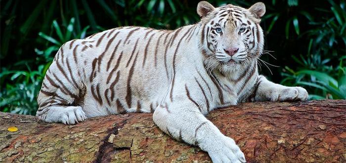 Animales más bonitos del mundo, tigre blanco de bengala