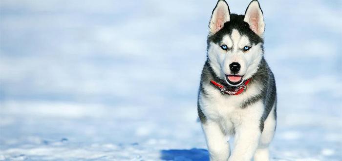 Animales más bonitos del mundo, husky siberiano