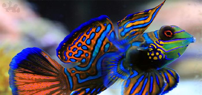 Animales más bonitos del mundo, pez mandarín