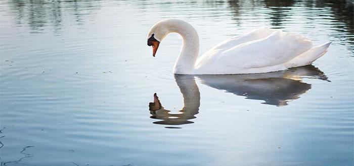 Animales más bonitos del mundo, cisne