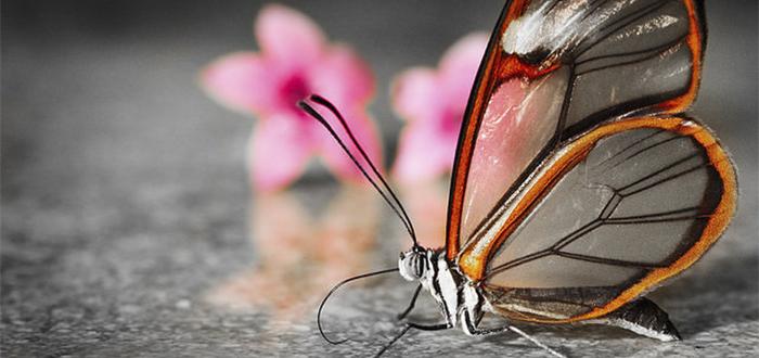 Animales más bonitos del mundo, mariposa de cristal