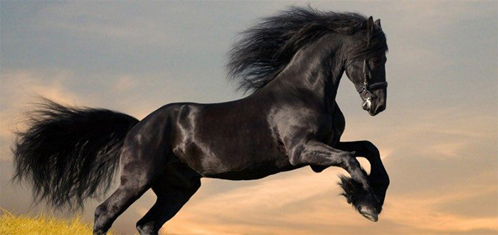 Animales más bonitos del mundo, caballo frisón