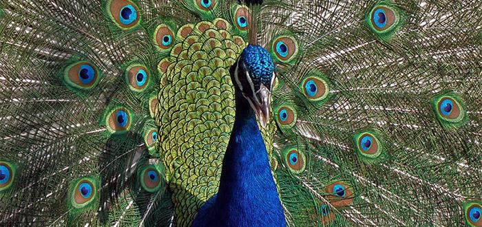 Animales más bonitos del mundo, pavo real