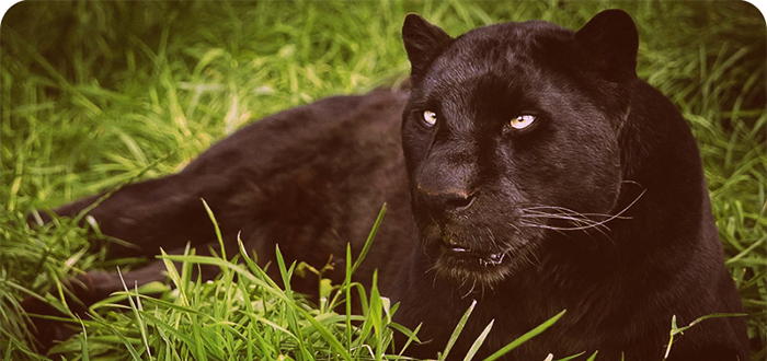 Animales más bonitos del mundo, pantera