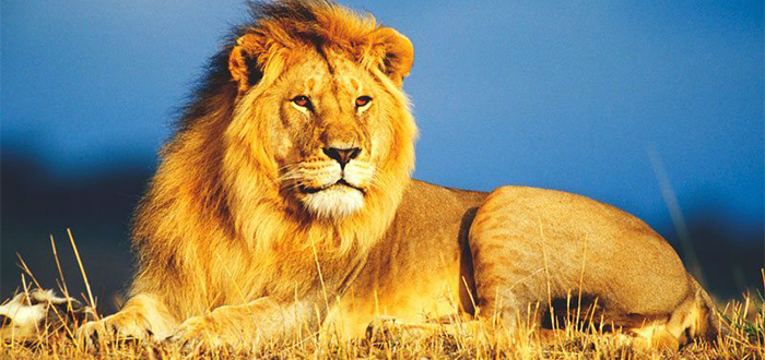 Animales más bonitos del mundo, león
