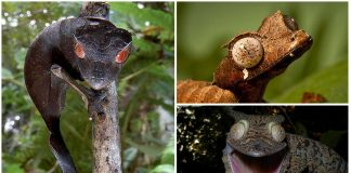 Descubre al Gecko Cola de Hoja Satánico. ¡Qué ojos más inquietantes!